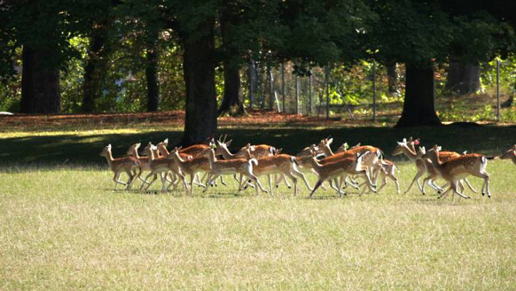 Eine Damhirsch-Herde lebt im Schwarzpark.