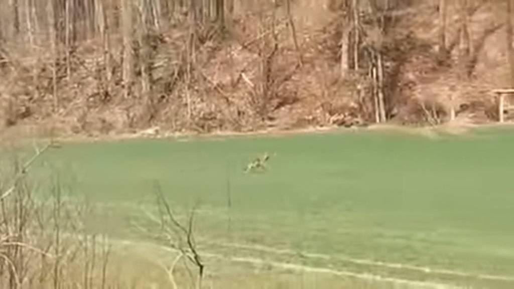 Wolf bei Bülach aufgetaucht