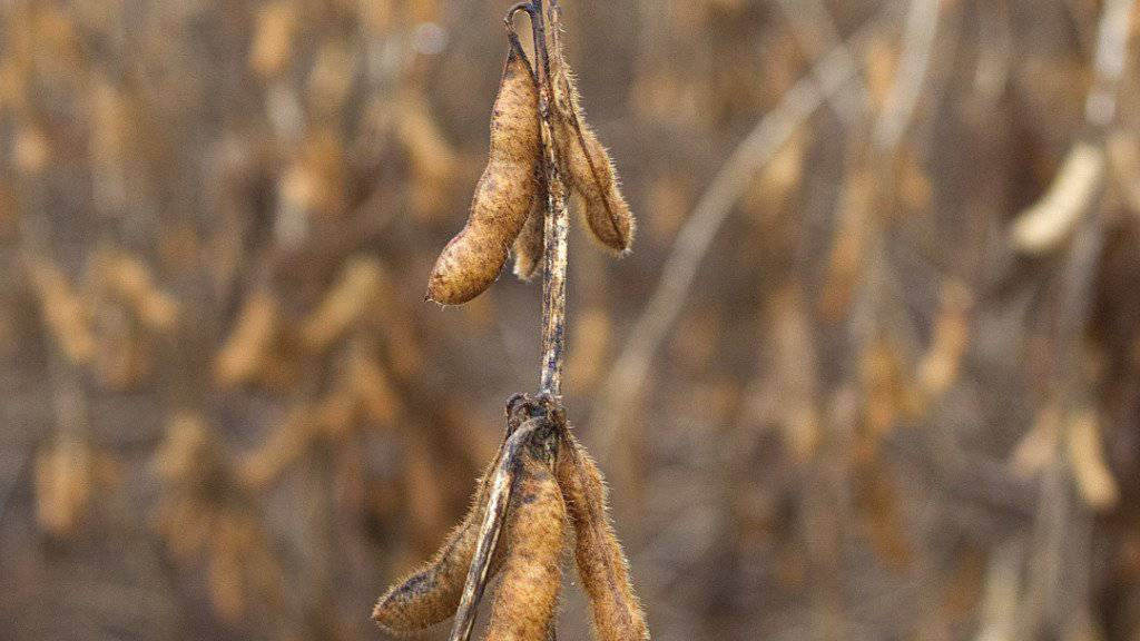 Lebensmittel mit Spuren von gentechnisch veränderten Pflanzen wie beispielsweise Sojabohnen sollen künftig in der Schweiz mit einem vereinfachten Verfahren zugelassen werden.