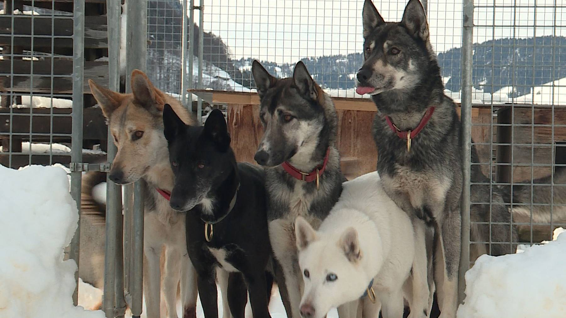 Erlebnis Schlittenhunde