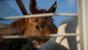 Hehlerware? Basler Fleischimporteur soll Fleisch von gestohlenen Pferden in die Schweiz importiert haben.