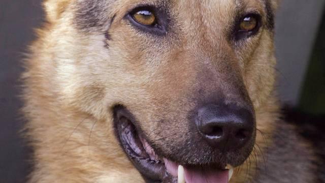 Die Treue in Person: Schäferhund Tommy aus Italien (Symbolbild)