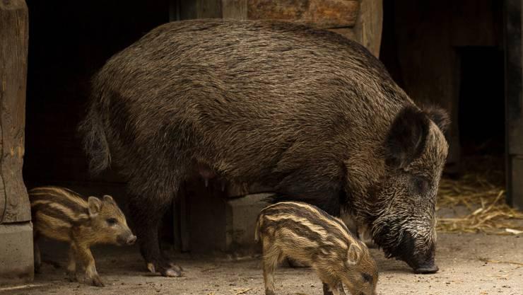 Junge Wildschweine im Wildpark Roggenhausen Aarau. Die Frischlinge sind am 06.03. und 07.03.19 geboren, von 2 Muttertieren.