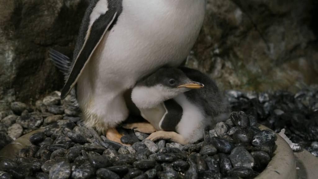 Bruterfolg: Zweites Küken für schwules Pinguin-Paar