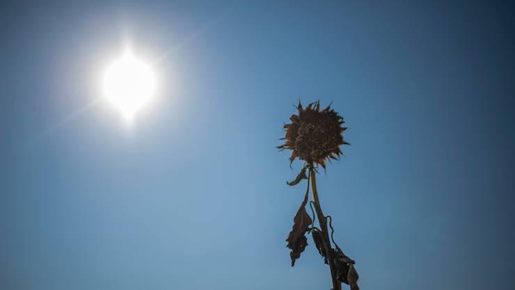 Sie fiel dem Hitzesommer 2018 zum Opfer: vertrocknete Sonnenblume in der Ostschweiz.. (Benjamin Manser)