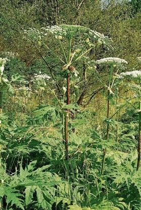 Der Riesenbärenklau (Heracleum mantegazzianum) wurde im Jahr 1980 in der Schweiz «eingebürgert».