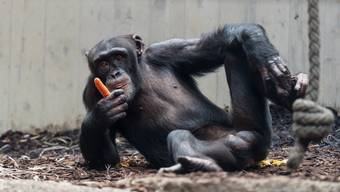 Schimpansen-Nachwuchs für den Basler Zolli