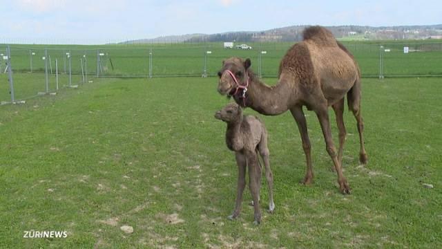 Dromedar-Baby entdeckt die Welt