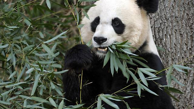 Forscher hoffen auf einen Zuchterfolg mit Panda Mei Xiang (Archiv)