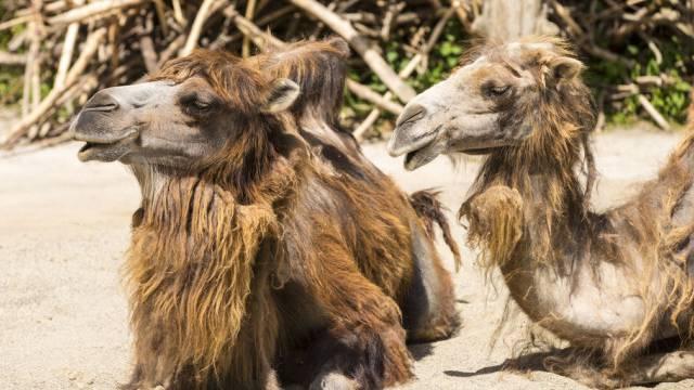 Neues Gehege für Hauskamele im Zürcher Zoo (Archiv)