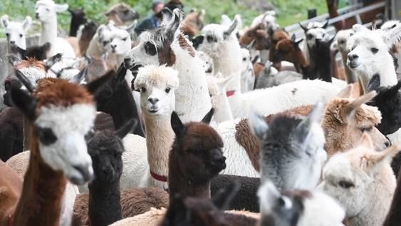 Flauschiger Alpabzug im Kiental mit Lamas und Alpakas