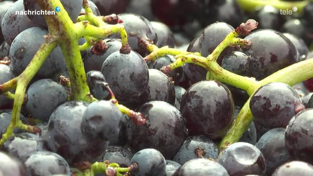 Der Weg von der Weintraube zum Wein