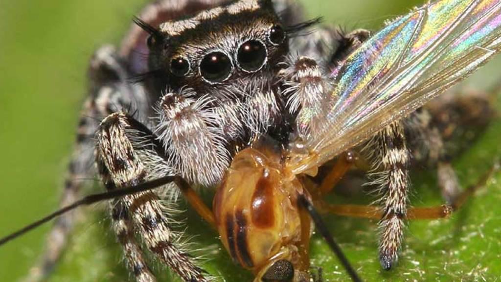 Die Springspinne Phidippus mystaceus saugt eine Mücke aus.