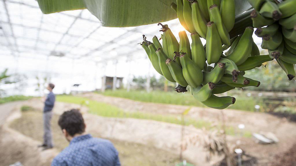 Auch Bananen wuchsen in Wolhusen. (Archivbild)