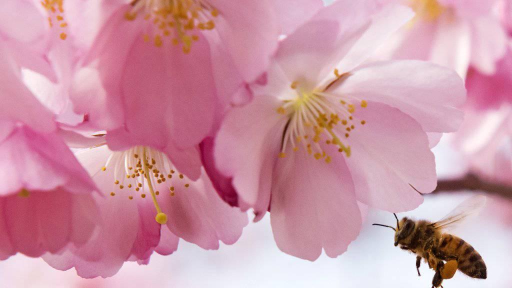 Der Stich einer Biene kann ziemlich schmerzlich und mitunter sogar tödlich sein. Nun testen brasilianische Forscher ein Gegengift. (Symbolbild)