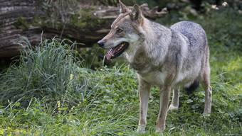 Führen im Tandem und die Mitarbeiter beobachten: Irina Schefer hat in einem Kurs im Tierpark Goldau Führungskräften vermittelt, was sie von Wölfen lernen können.