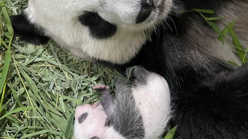Singapurs erstes Riesenpanda-Baby öffnet die Augen