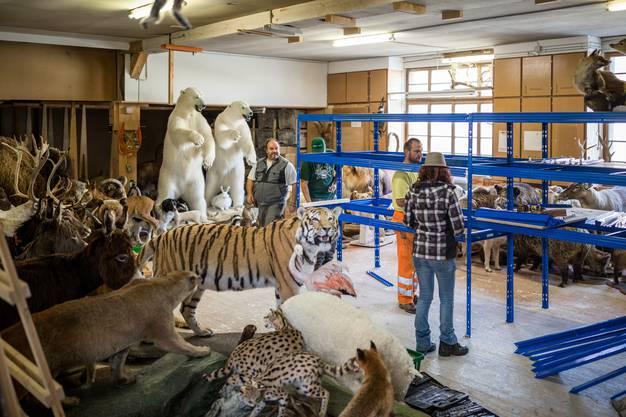 """Walter Benz aus Wettingen ist Tierpräparator (Firma """"Animal Decor""""). Er hat in Wettingen eine Lagerhalle gemietet und eine umfangreiche Sammlung aus dem Thurgau in den Aargau gezügelt."""