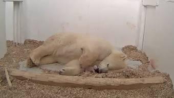 Späte Samichlaus-Überraschung im Tierpark Berlin: Eisbären-Mama Tonja hat Nachwuchs zur Welt gebracht. Dasmeerschweinchen-grosse Freudenbündel purzelte in der Nacht zum Donnerstag. Die Freude im Tierpark ist riesig. Doch noch heisst es Daumen drücken, denn dieJungtiersterblichkeit bei Eisbären liegt bei etwa 50 Prozent.
