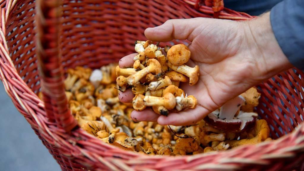 Dieses Jahr sind in den Wäldern besonders viele Pilze zu finden. (Symbolbild)