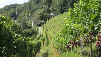 Rebberg in Ennetbaden: Alle Aargauer Weinbauern werden aufgerufen, die Schäden auch mit Bildern selber genau zu dokumentieren. (Symbolbild)