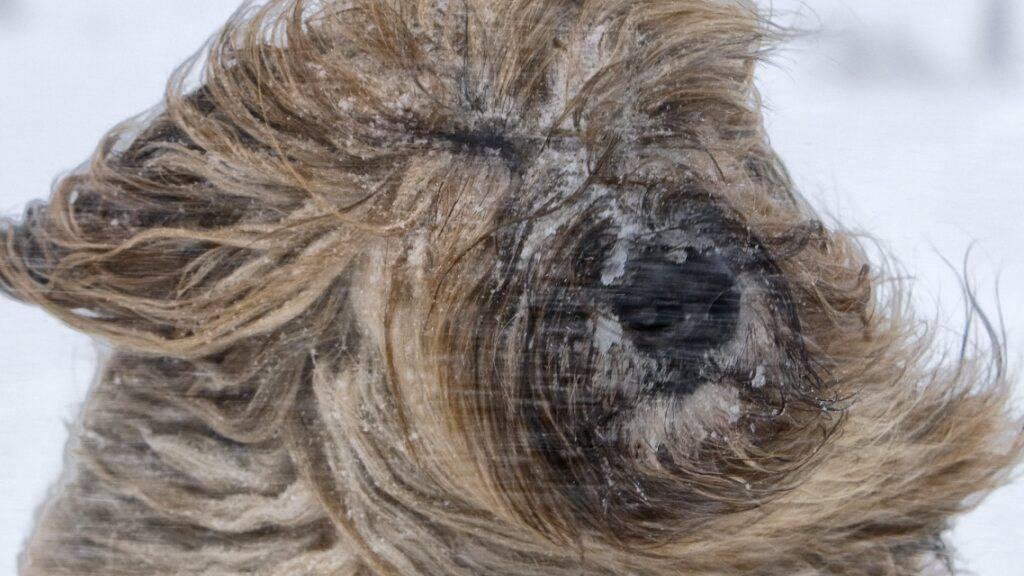 Heftige Föhnwinde bringen auch die «Frisuren» von Hunden durcheinander. (Archivbild)