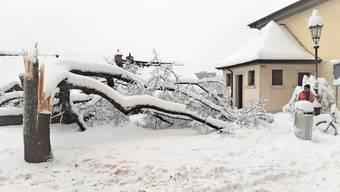 Durch Schneemassen und Frost wurde dieser Baum auf dem Badener Kirchplatz regelrecht gespalten.