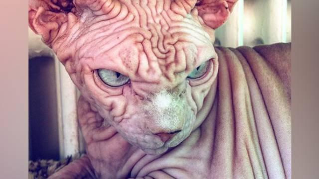 Faltig, nackt und grimmig: Schweizer Sphynx-Katze wird zum Internet-Star