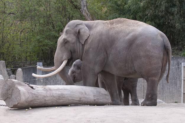 Elefantenbulle Maxi im Zoo Zürich