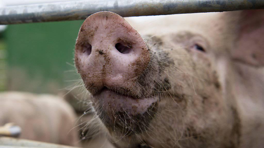 Bei einem Feuer in Alchenstorf BE sind am früheren Freitagmorgen einige Schweine umgekommen. (Themenbild)