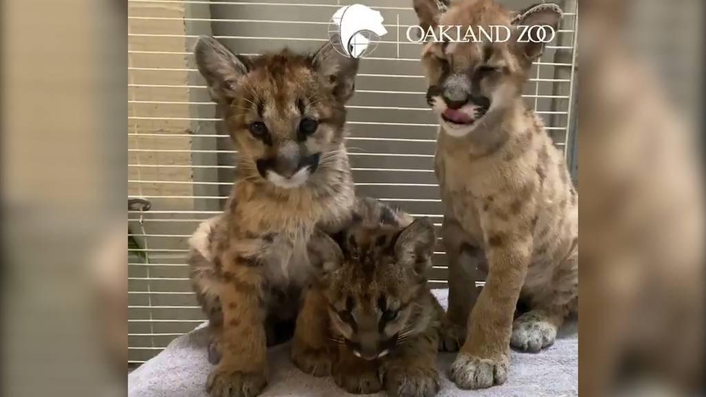 Happy End für Buschbrand-Waisen-Pumas