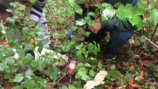 Bucko erschnüffelt einen Trüffel, ein Teilnehmer gräbt ihn mit der Hilfe von Zoran Martinovic aus.