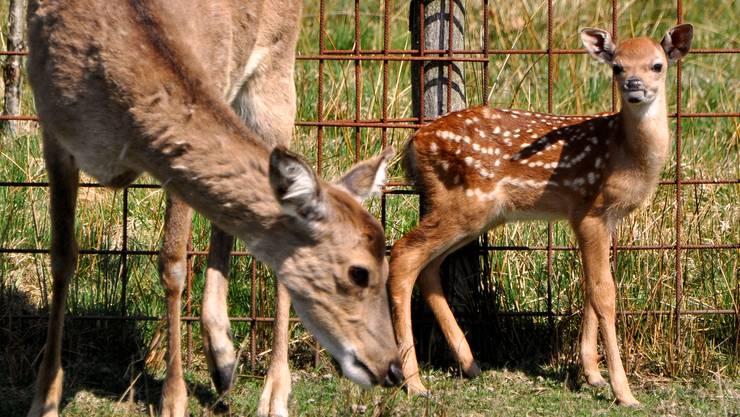 Ein Rehkitz  mit seiner Mama im Tierpark Waltenschwil.