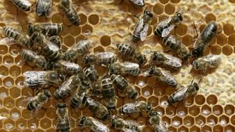 Bienen kommunizieren mithilfe eines vibrierenden Tanzes, wo es eine Nahrungsquelle zu finden gibt. (Archivbild)