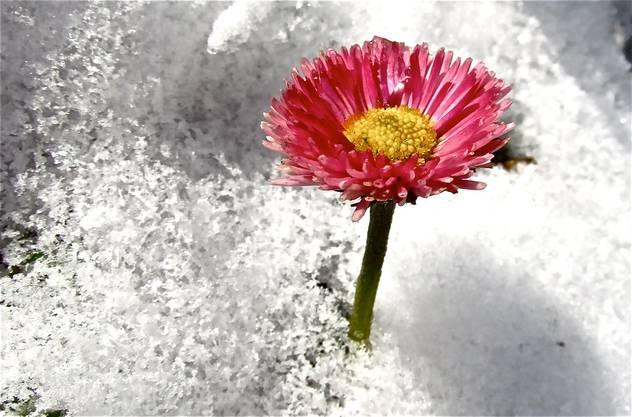 Eine Blume in Unterengstringen schaut aus der Schneedecke hervor.