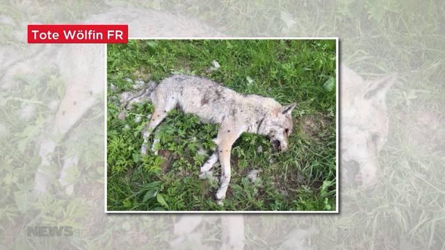 Kanton Fribourg: Tote Wölfin gefunden