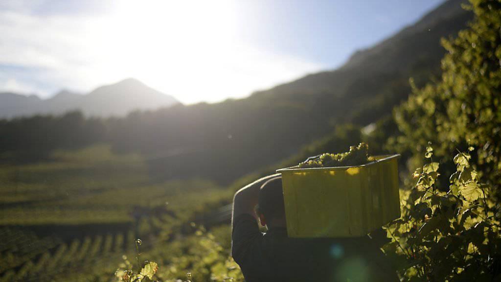 Die Walliser Winzer können aufatmen. Seit zwei Jahren wurde kein an Goldgelber Vergilbung erkrankter Rebstock mehr entdeckt. (Symbolbild)