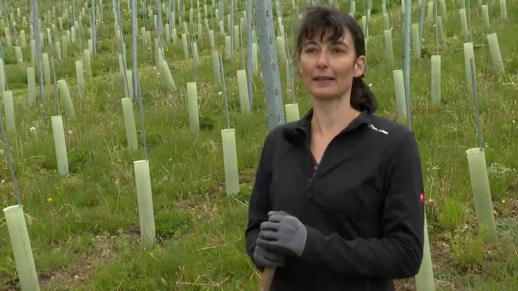 Innovino Argovia: Ökologischer Rebberg von Barbara Furer-Hartmann