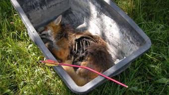 Der Fuchs wurde von einem Pfeil angeschossen. (Foto: ZVG)