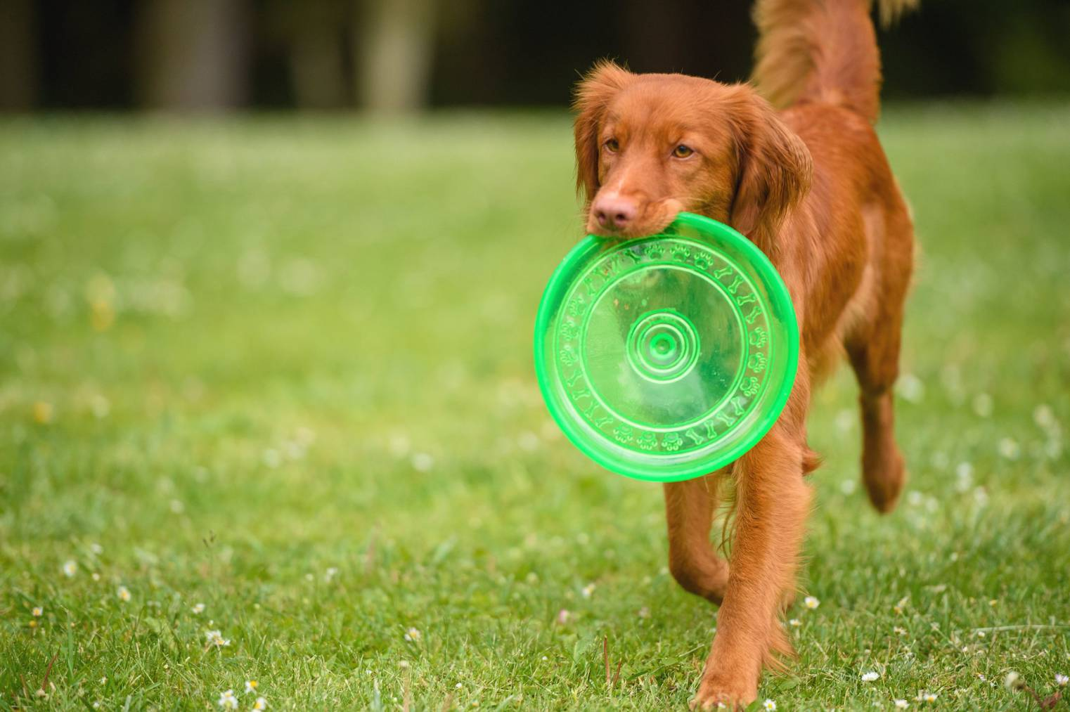 Orange dog with Frisbee in mouth