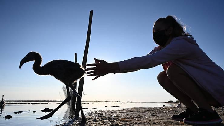 dpatopbilder - Mehr als 12 000 Küken sind an den salzigen Gewässern bei Aigues-Mortes geschlüpft. Foto: Christophe Simon/AFP/dpa