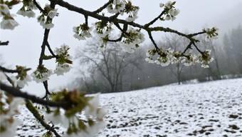Anfang April schneite es sogar auf die Kirschblüten. Diese haben bisher aber nur wenig Schaden genommen. nbo