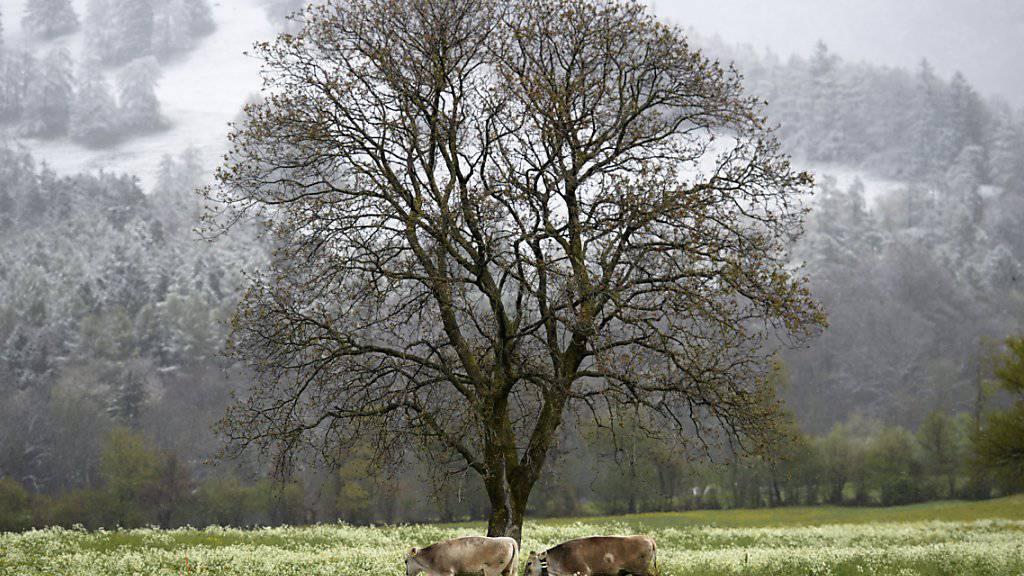 Grasende Kühe auf einer Weide: Dieses idyllische Bild soll dank einem Ausbau des Tierwohlprogramms RAUS (Regelmässiger Auslauf im Freien) auch in Zukunft zum schweizerischen Alltag gehören. (Archivbild)