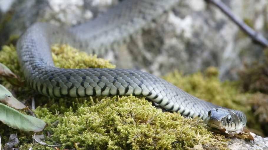 Böötler werden von Schlange an Reuss überrascht