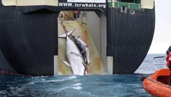 """Die Fangquoten für Seiwale würden nach einem neuen """"Forschungsprogramm"""" der Japaner von 90 auf 140 Wale erhöht, schreibt die Artenschutzorganisation Pro Wildlife. (Archivbild)"""