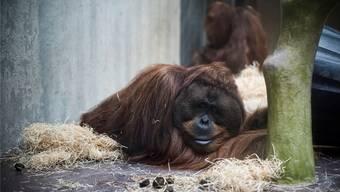 Es herrscht Uneinigkeit, ob die Primatenhaltung zeitgemäss ist.