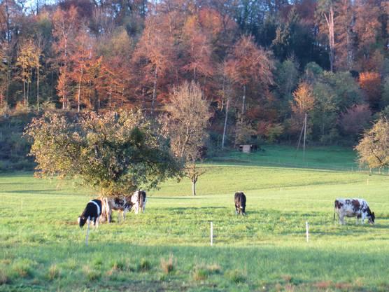 Dann auch die weidenden Kühe vom Landwirt Rupp vom Schillingsrain, was schon zu Liestal gehört.