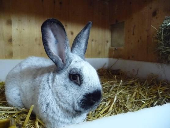 André Rohn hat sich schon bei der Anmeldung zur Schau für den Verkauf des Kaninchens verpflichtet. Deshalb ist der Champion nicht mehr in Recherswil.