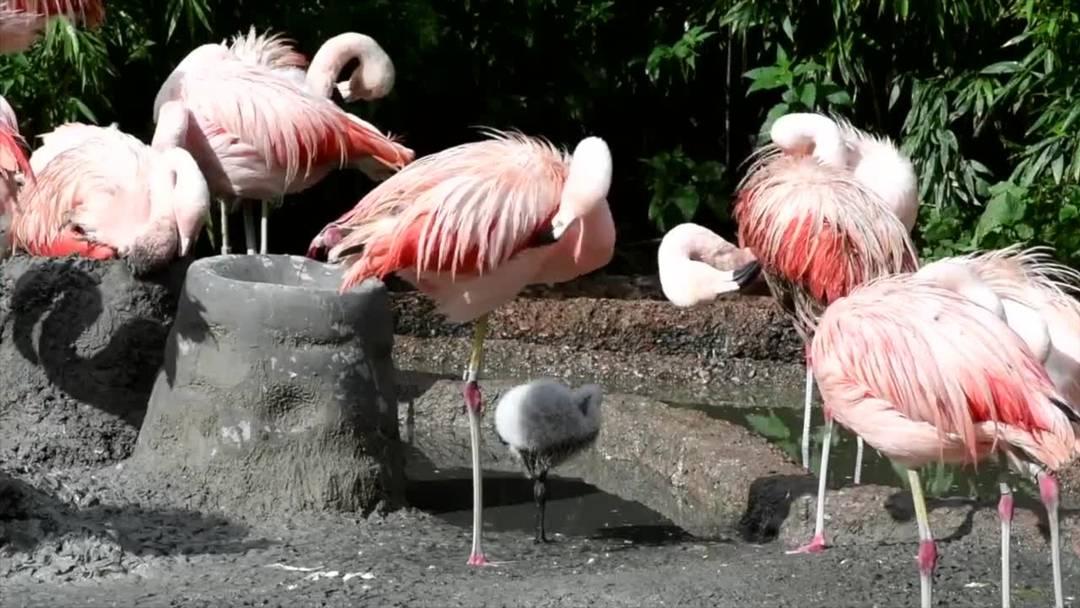 Zoo Zürich: Seltener Nachwuchs bei den Flamingos