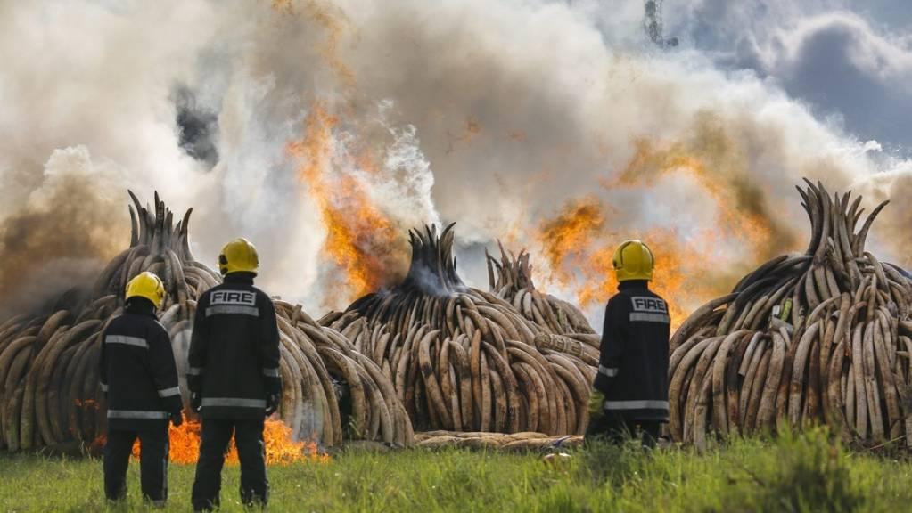 Verbrennung von beschlagnahmtem Elfenbein in Kenia. Obwohl niemand Elfenbein braucht ausser Elefanten, boomt der illegale Handel weiter. Es ist einer der Hauptgründe für das Verschwinden Zehntausender Elefanten jedes Jahr. Dabei sind Elefanten exzellente Klimahelfer (Archivbild).